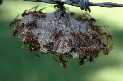 australian paper wasps [ google image ]